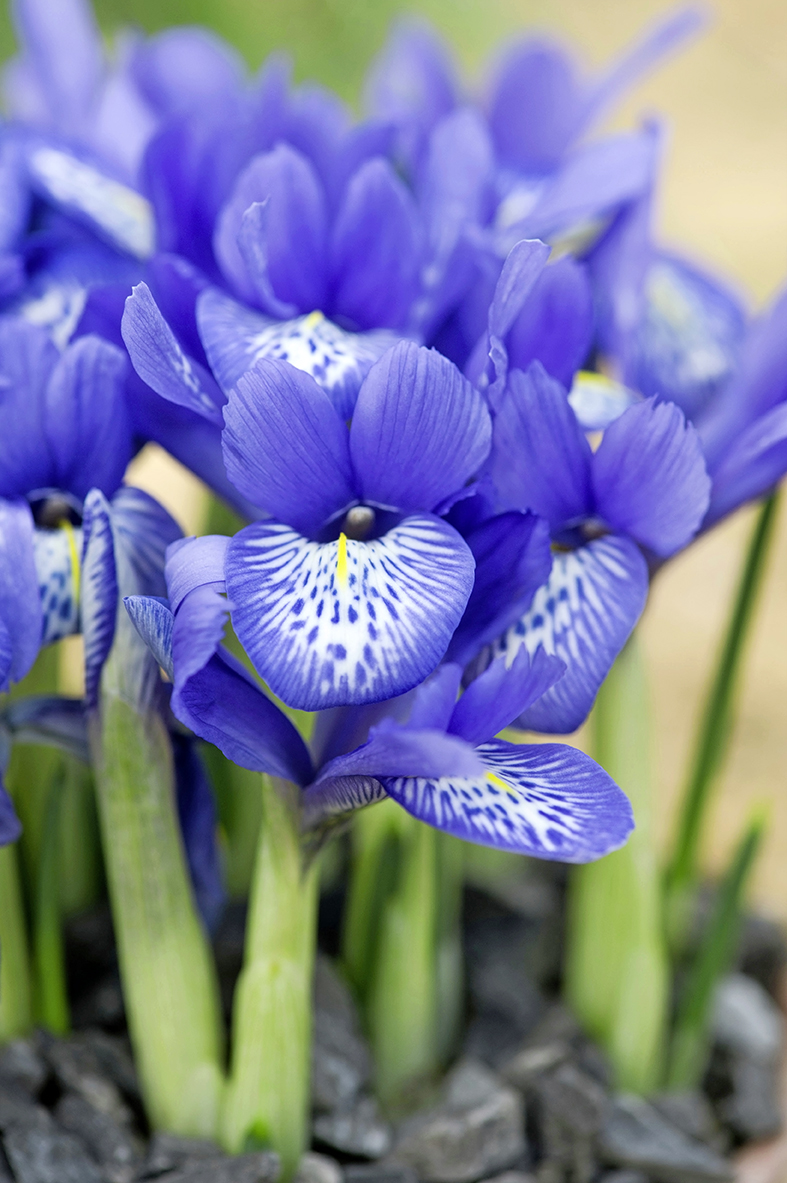 Iris reticulata 'Lady Beatrix Stanley'