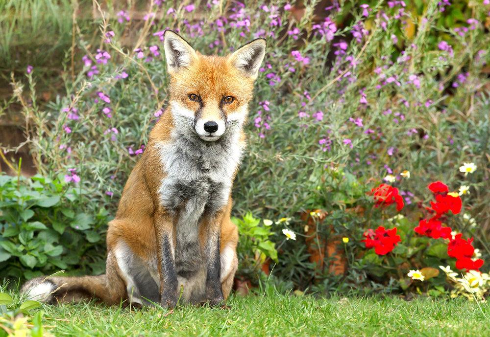 shutterstock_1045890109 Fox in garden D.jpg
