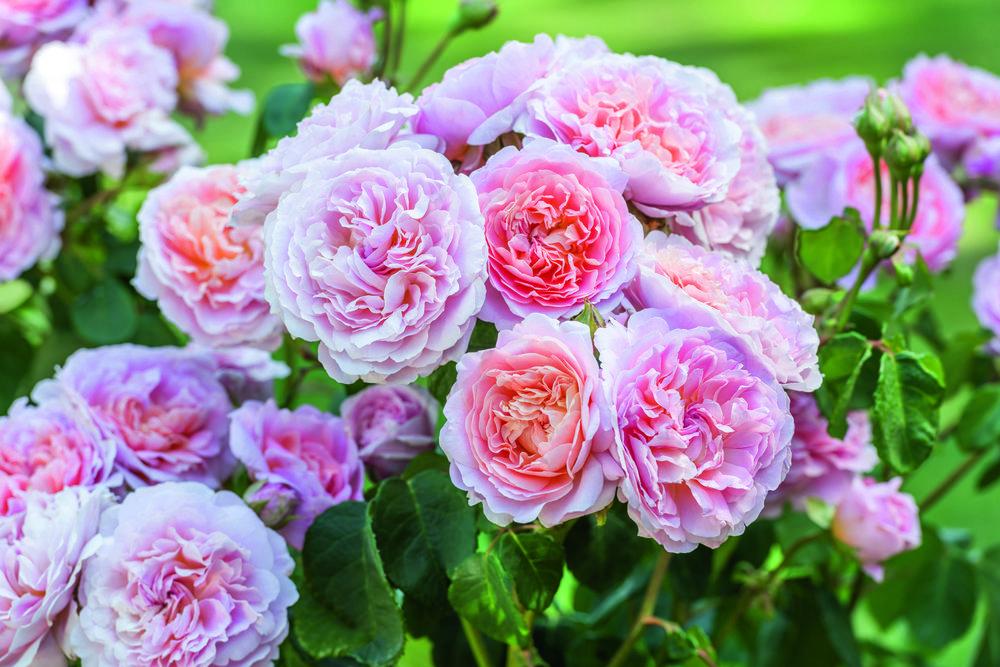 Rosa 'Eustacia Vye'
