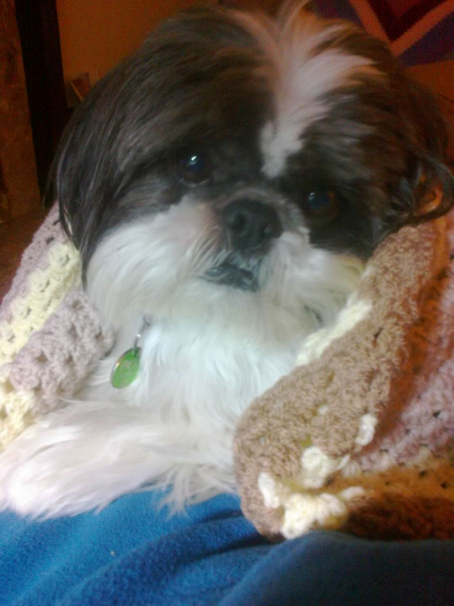 Alfie is a 6 year old Shih Tzu that is a Pets As Therapy dog. He's loved by everyone he meets, loves playing ball and hates the snow.
