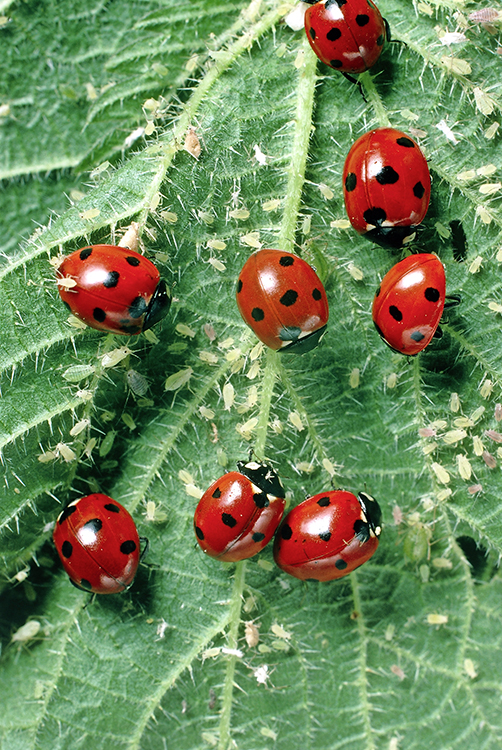 Ladybirds on a nettle