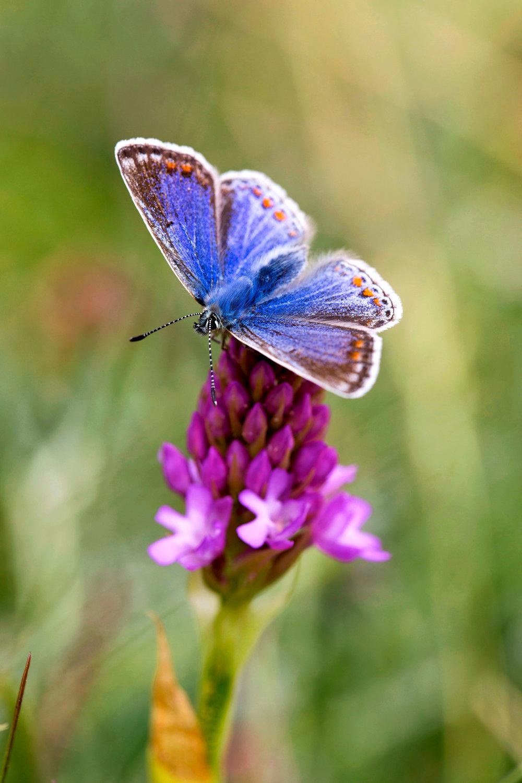 Common-blue-butterfly-LandScape-magazine