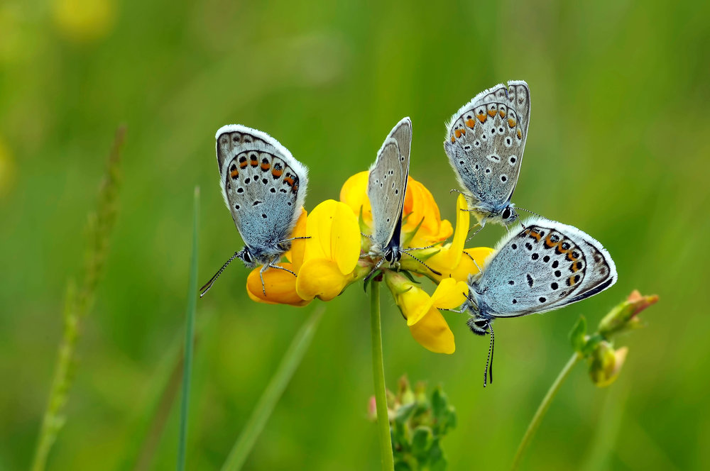 At rest, the line of orange spots on the under wing of the Common Blue butterfly can be clearly observed.