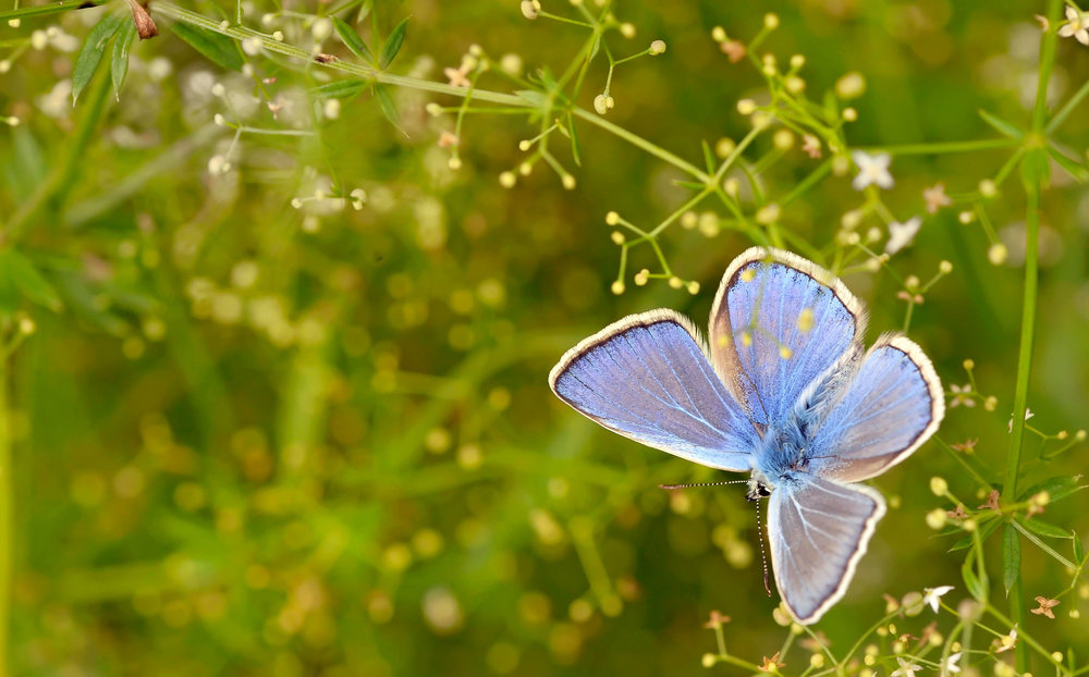 The male Common Blue butterfly: the pale fringe bordering its wings separated from the blue by a notable dark line.