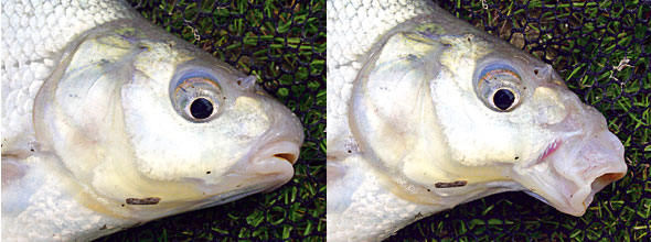 Bream have smalls mouths that extend to form a suction tube