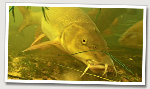 The torpedo-shaped body of a barbel makes it a highly efficient swimmer