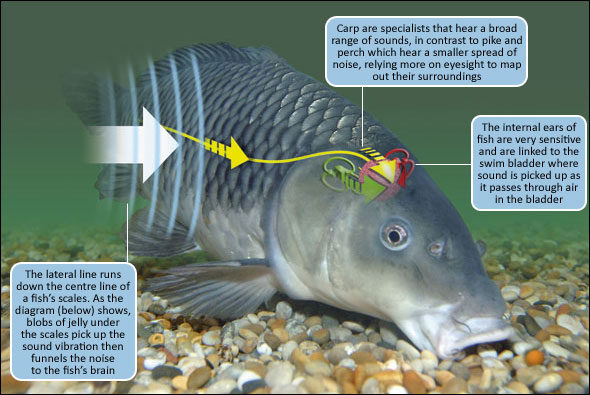 understanding a fish s hearing angling times