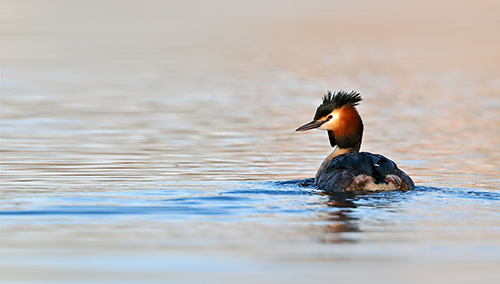 Tip 2 Great Crested Grebe.jpg