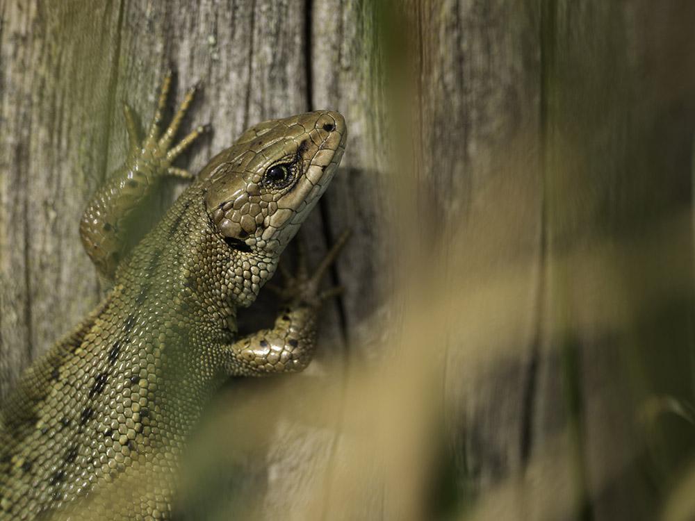 Spring Lizard.jpg