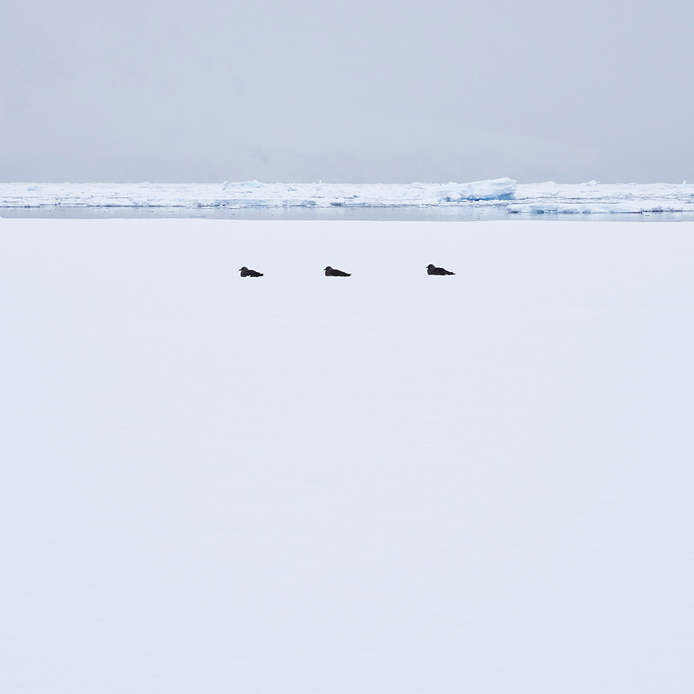 Three Birds Antarctica L.ANT24(0879)40.jpg