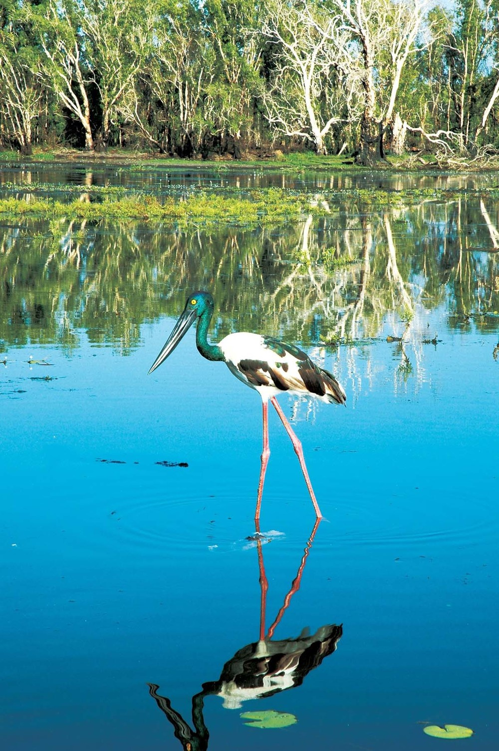 Jabiru,%20Yellow%20Water%20Billabong%20-%20credit%20Tourism%20NT.jpg