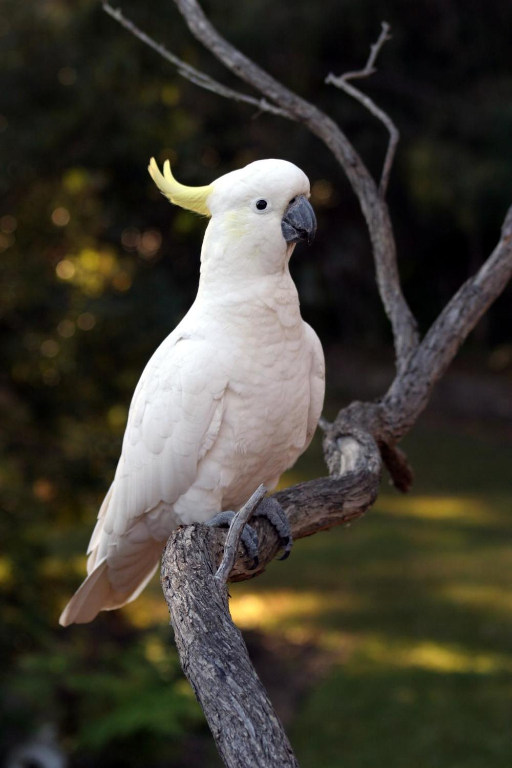 cockatoo2.jpg