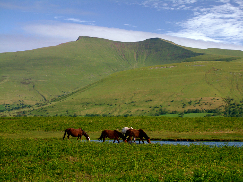 Brecon%20Beacons%20Ponies%20on%20Mynydd%20Illtud%20with%20Pen%20y%20Fan%20%20in%20background.jpg