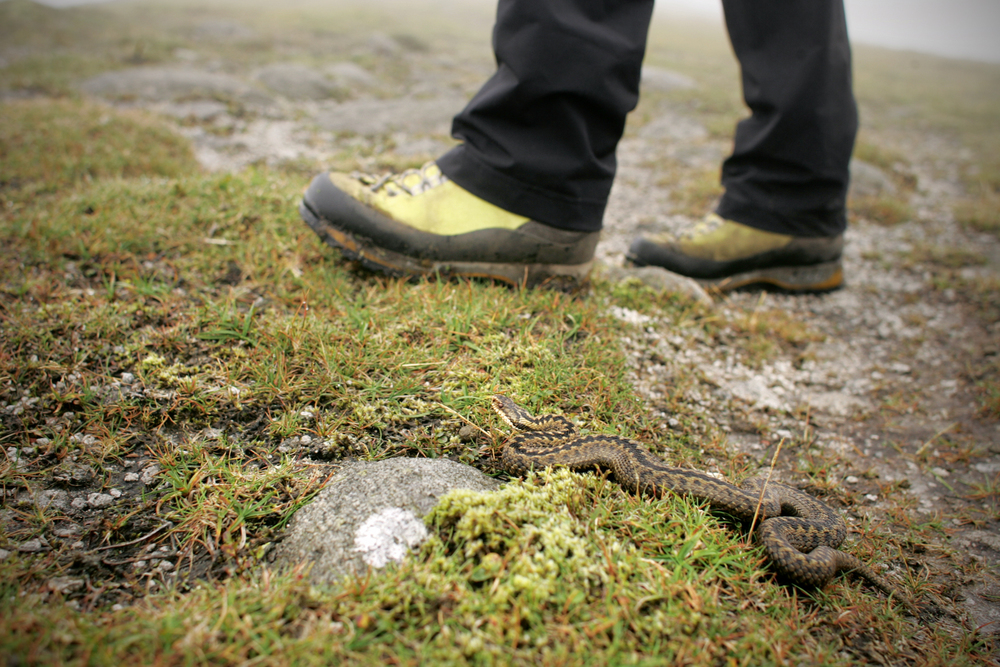 An Adder on the Isle of Arran. Common in spring and summer, they are best left be... Photo: Tom Bailey / Trail Magazine