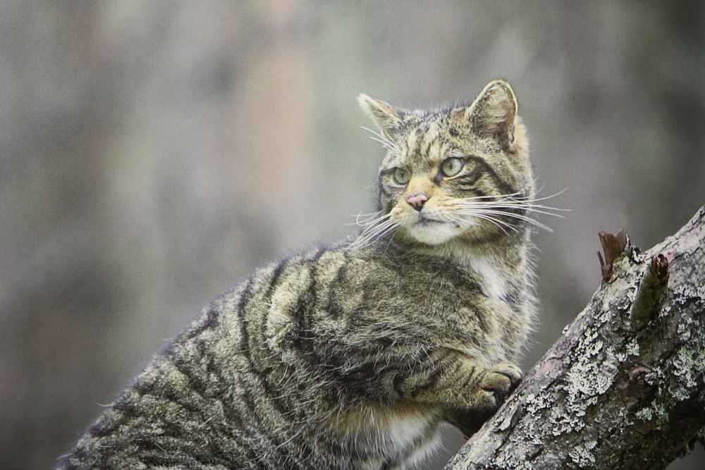 A Wildcat at the Highland Wildlife Park. Photo: Highland Wildlife Park