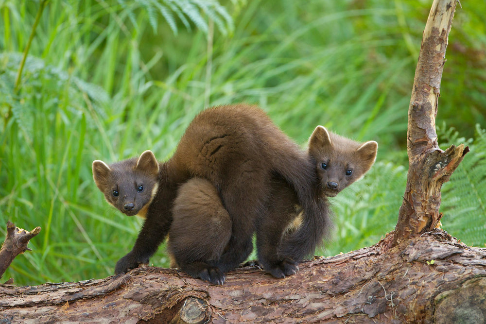 Pine marten cubs playing - photo courtesy of Forest Holidays.