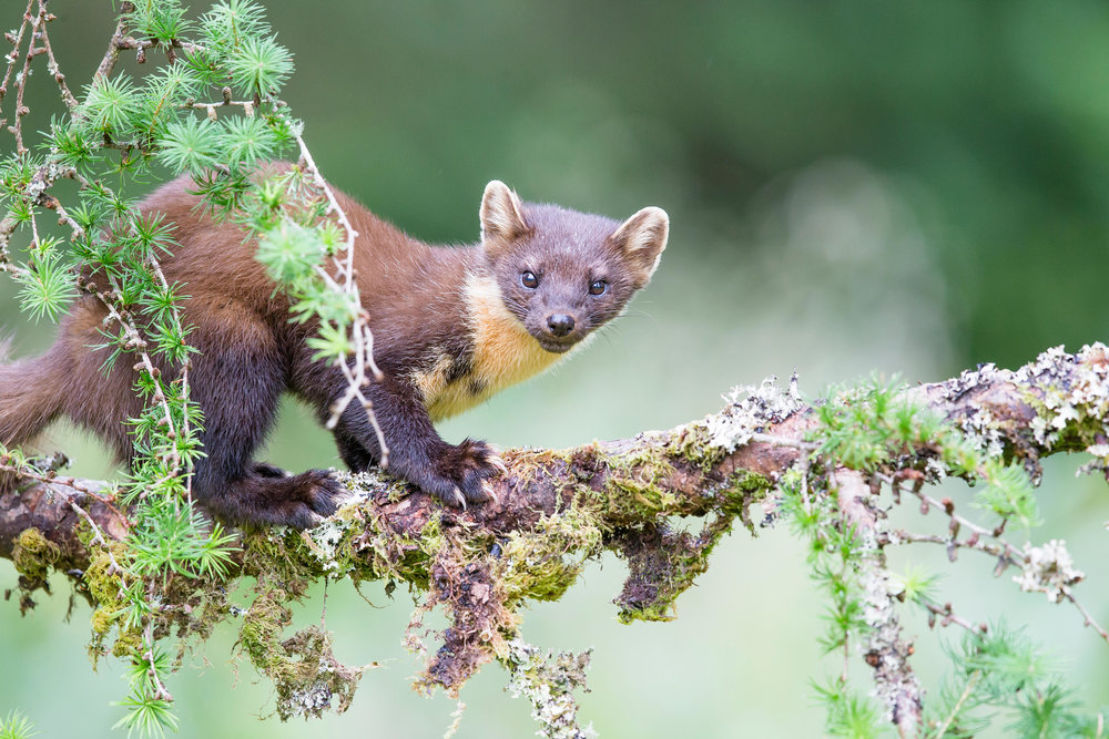 Pine marten in the tree tops - photo courtesy of Forest Holidays.