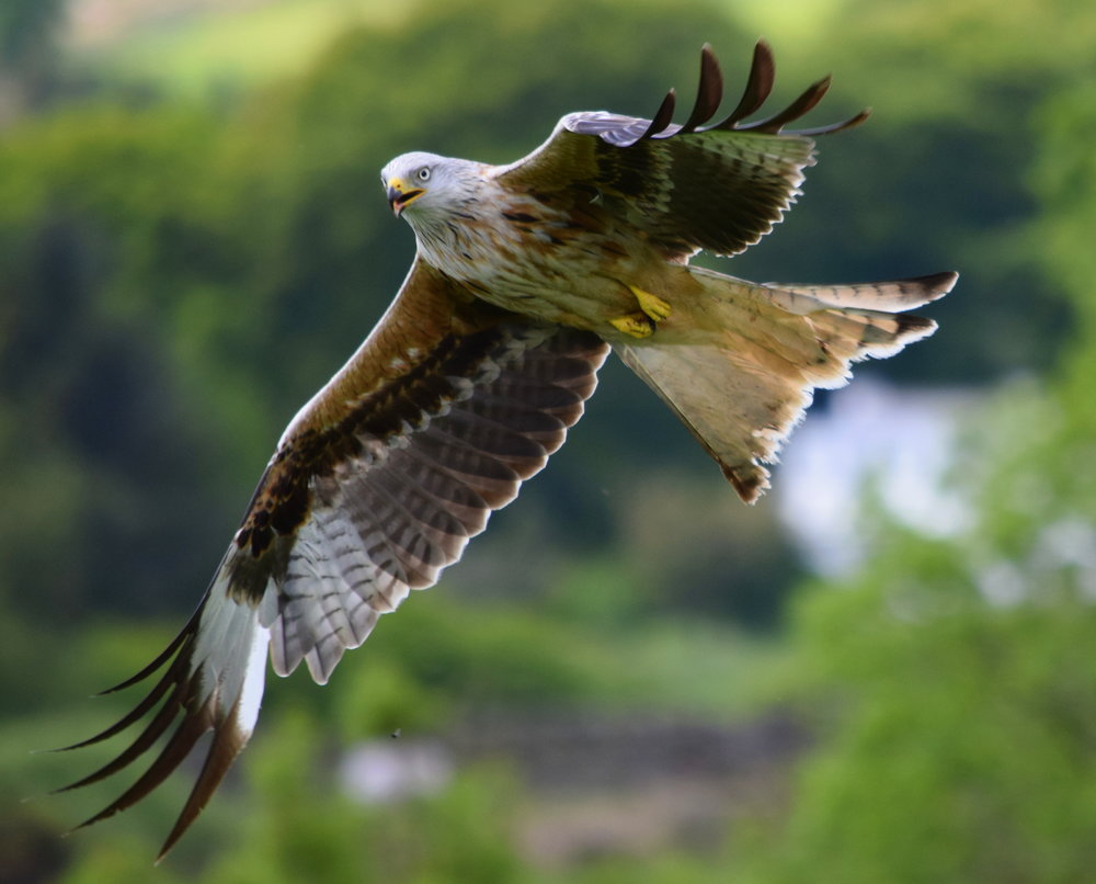 Red Kite in Dumfries & Galloway