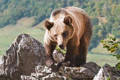 Cantabrian-Brown-Bear.jpg