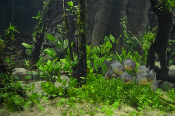 Elegant London Sea Life Piranha Tank Gets An Aquascaping Makeover