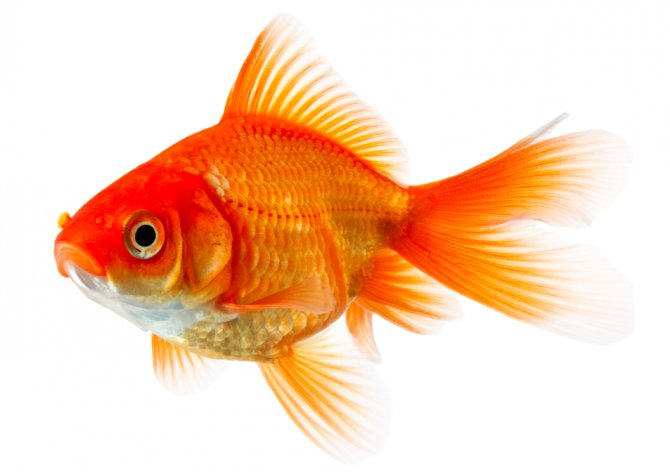 Gold Fishes Photos Police called after 'k...