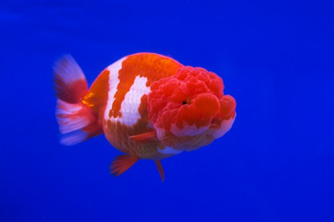 Fancy goldfish bonanza at Star Fisheries ? Practical Fishkeeping ...