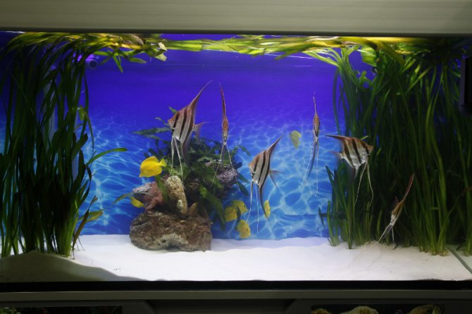 Marine and freshwater fish in the same tank practical for Coy fish tank