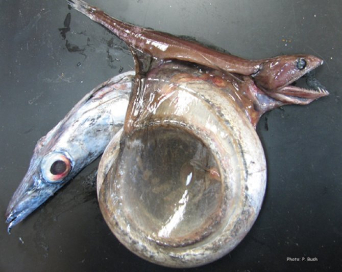 Weird fish of the week: Swallower — Practical Fishkeeping ...