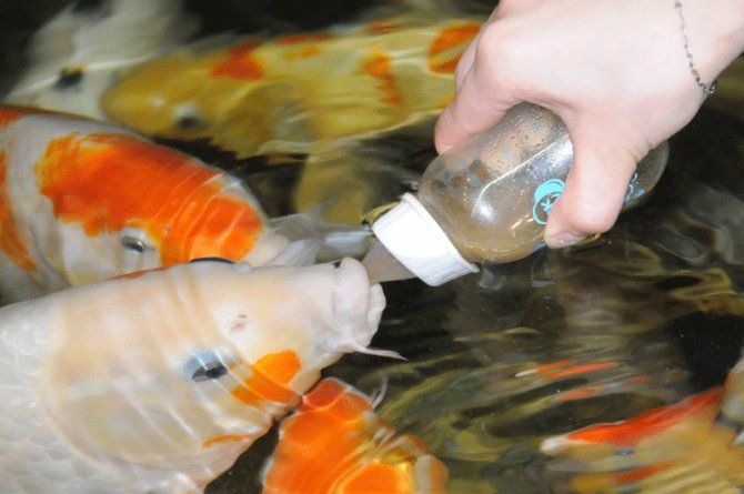 Koi go 39 on the bottle 39 practical fishkeeping magazine for Baby koi carp