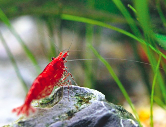 Pfk investigates shrimps killed by mail order plants for Mail order fish
