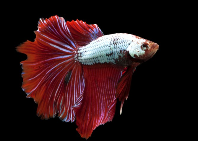 Guidelines released for keeping fighters practical for Betta fish care sheet