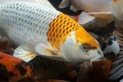 How long will my fish live practical fishkeeping magazine for Koi fish living conditions