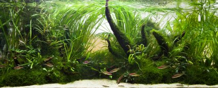 Iain's 'Asian Dreams' aquascape.