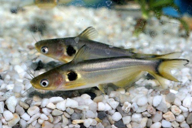 Sun catfish, Horabagrus brachysoma — Practical Fishkeeping Magazine