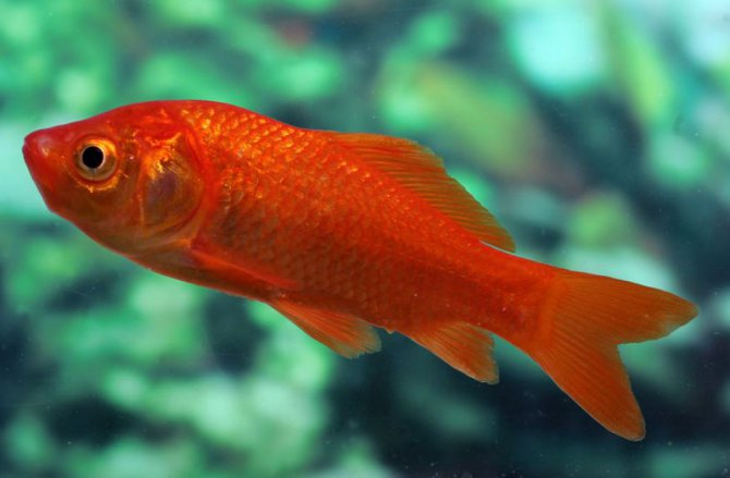 Frequently asked questions on goldfish practical for Can tropical fish live with goldfish