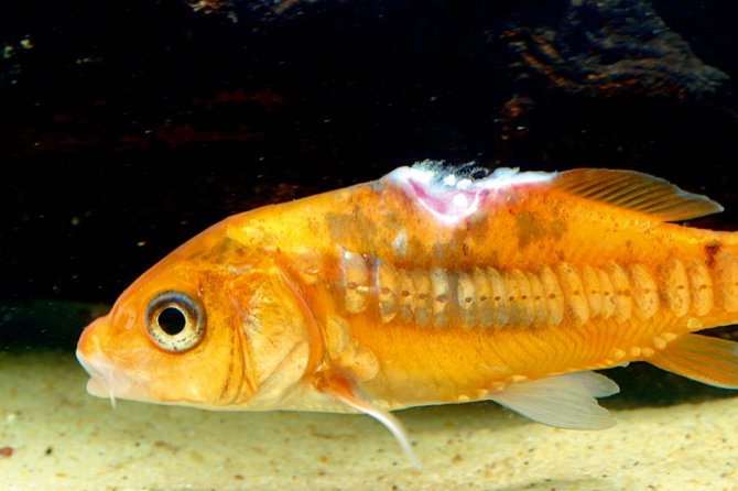 What are ulcers and how can i treat them practical for Pond fish diseases