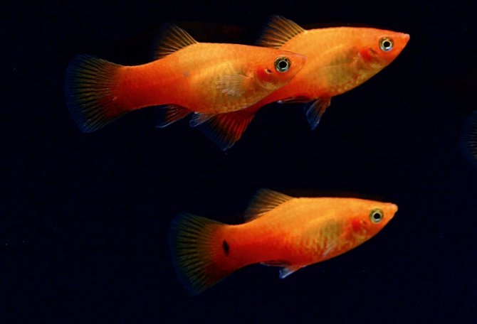 What are the easiest tropical fish for beginners for Easy aquarium fish