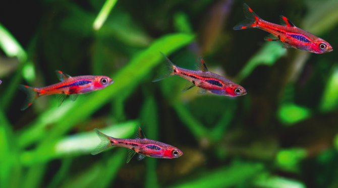 Boraras - marvels in miniature — Practical Fishkeeping ...
