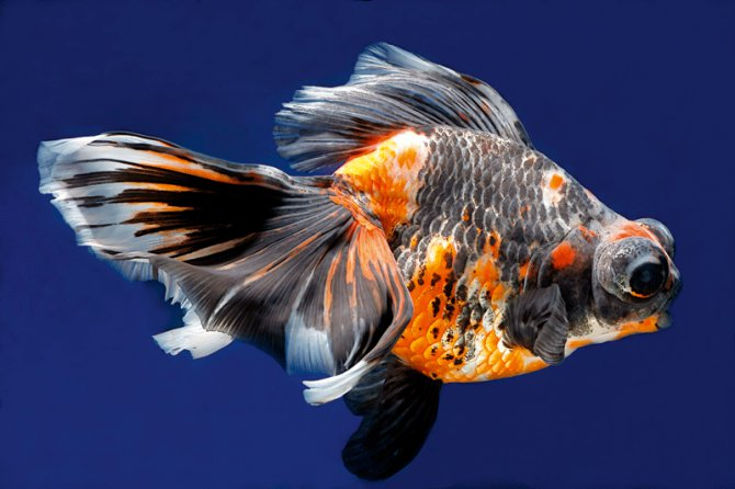 Will my red, black and white goldfish lose the black ...