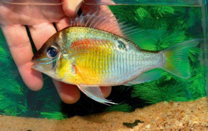 Biotodoma cf. cupido ? Practical Fishkeeping Magazine