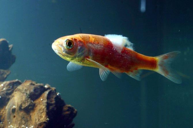 Больная рыба, ватная болезнь у аквариумной рыбки, фото фотография