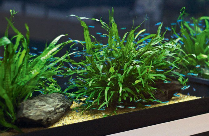 The low tech planted aquarium practical fishkeeping magazine for Plante aquarium