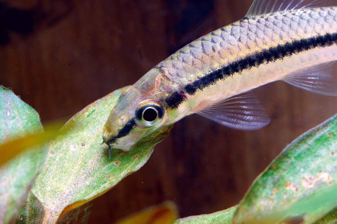What 39 s the difference between a siamese algae eater and a for Flying fox fish