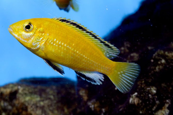 Whats the best Malawi cichlid for beginners? ? Practical ...