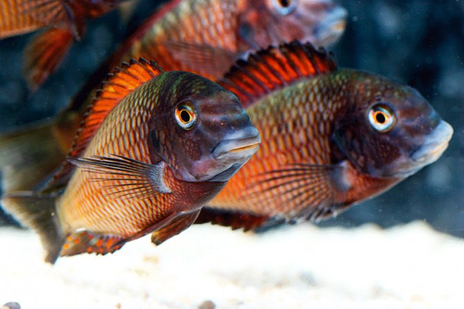 Quick guide to tanganyikan cichlids practical for Lake tanganyika fish