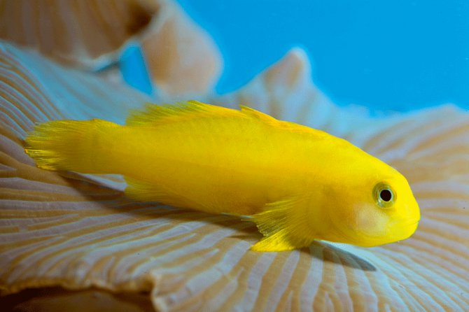 Yellow coral goby gobiodon okinawae practical for Yellow saltwater fish