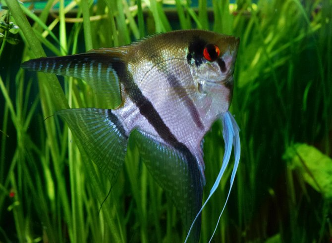 Keeping and breeding angelfish in the aquarium practical for Common freshwater aquarium fish