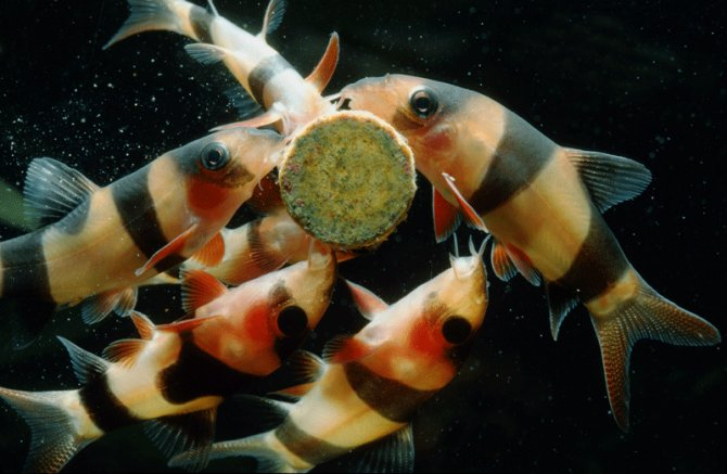 Time to get serious about clowns practical fishkeeping for Clown loach fish