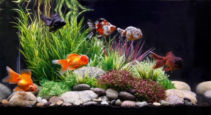 How to get fancy with goldfish practical fishkeeping for Goldfish pond plants