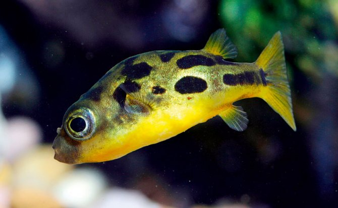 How to keep dwarf puffers practical fishkeeping magazine for Puffer fish diet